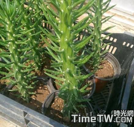 「仙肉植物」對空氣濕度的要求有哪些