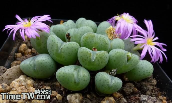 雛鳥 Conophytum velutinum