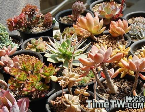 景天科多肉植物如何增色最有效