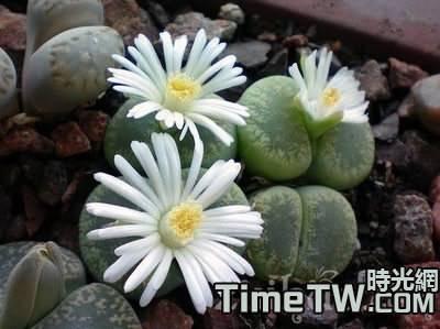 生石花的栽培技術