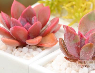多肉植物應對溫差的方法介紹(一)