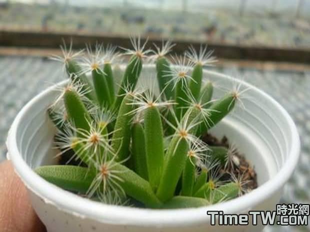 紫星光、紫晃星、迷你沙漠玫瑰 Trichodiadema densum