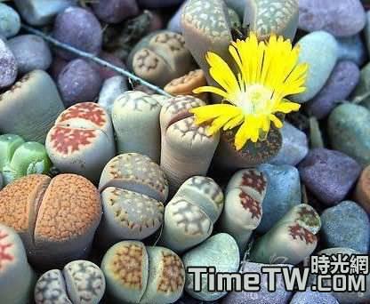 多肉植物生石花苗期管理的幾個重要環節