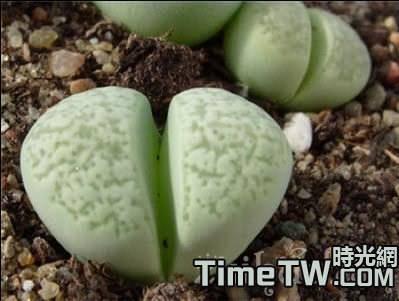 多肉植物蛇紋玉系的品種介紹