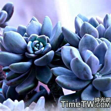 多肉植物藍寶石,藍寶石的養殖方法