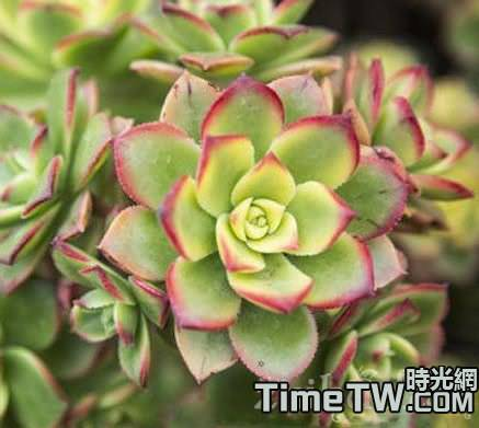 多肉植物紅緣蓮花掌的基本養護介紹