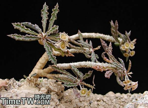 筒葉麒麟、柱葉大戟 Euphorbia cylindrifolia