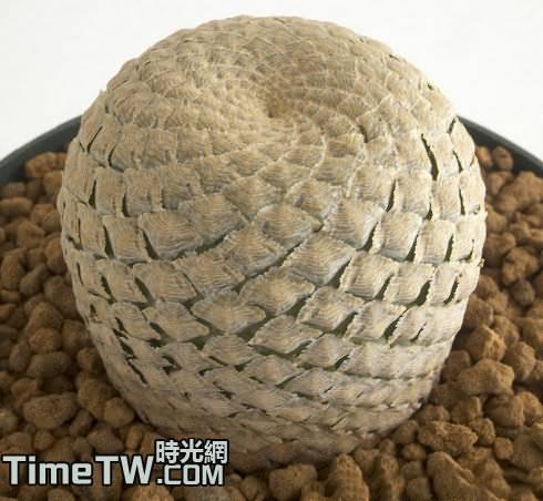 魚鱗大戟、魚鱗丸、魚皮大戟 Euphorbia piscidermis