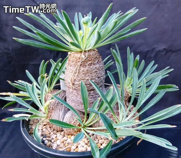 鐵甲丸、蘇鐵大戟 Euphorbia.bupleurifolia