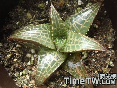 淺談龍鱗(Haworthia tesselata)栽培方法
