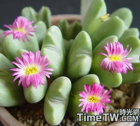 多肉植物如何利用溫差來促生長
