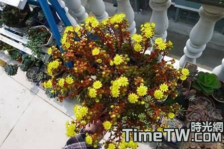 小人祭開花後會死嗎