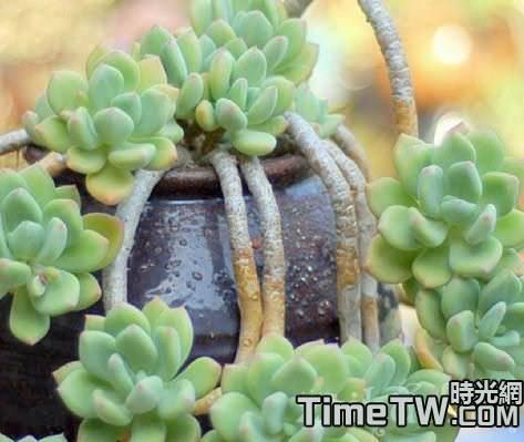 多肉植物老樁是如何形成的