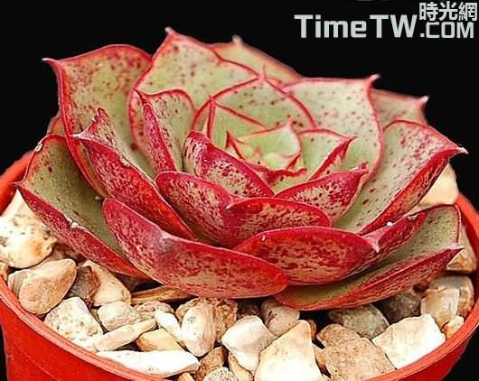羅西馬、羅西瑪 - Echeveria longissima