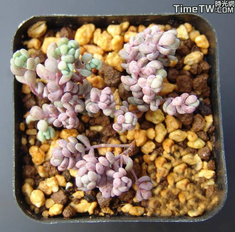 大姬星美人 - Sedum dasyphyllum cv Lilac Mound