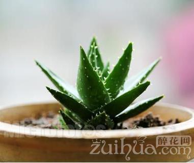 如何掌握好蘆薈的澆水頻率