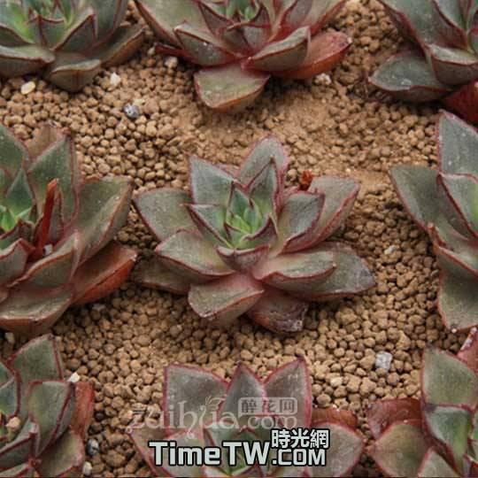 羅西馬雜交 - Echeveria longissima var aztatlensis