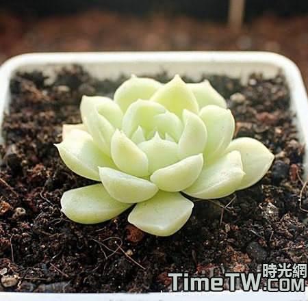 多肉植物葉插的繁殖方法