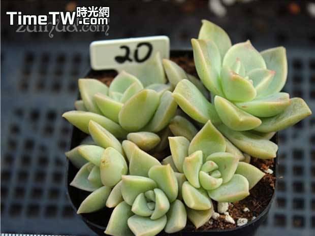 銀紅蓮 - Echeveria cv. Ginguren