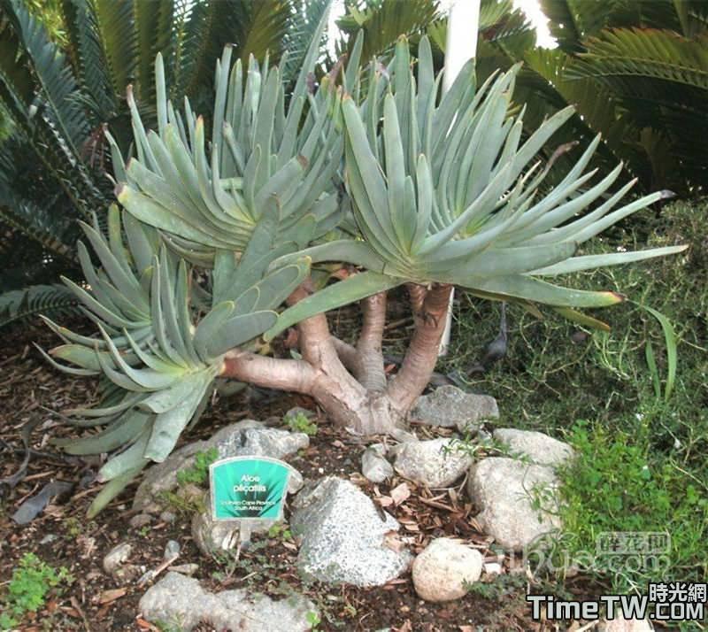 乙姬之舞扇/折扇蘆薈 -  Aloe plicatilis