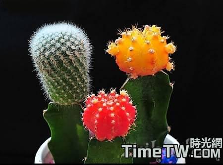 仙人球會開花嗎?仙人球開花代表什麼?