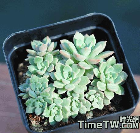 綠翡翠 - Echeveria Green Emerald
