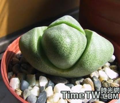 多肉植物生石花的生長速度真的很慢嗎