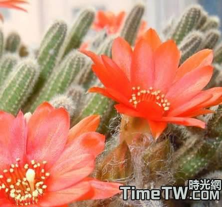 蟹爪蘭等仙人掌類多肉植物的花期控制介紹