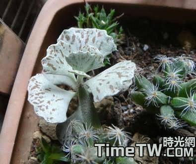 多肉植物扇雀的開花及繁殖介紹