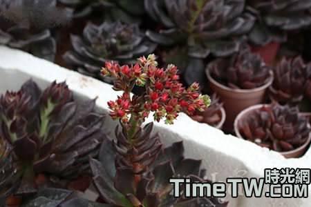 多肉植物開花一招靈!