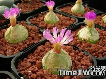冬季利用植物射燈養護多肉植物燈泡心得