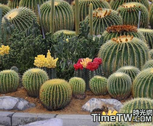 多肉植物仙人球冬天要澆水嗎?