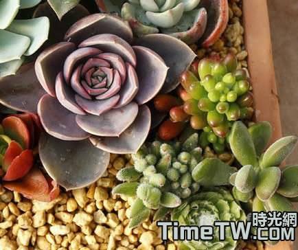冬天多肉植物也可以上色嗎?