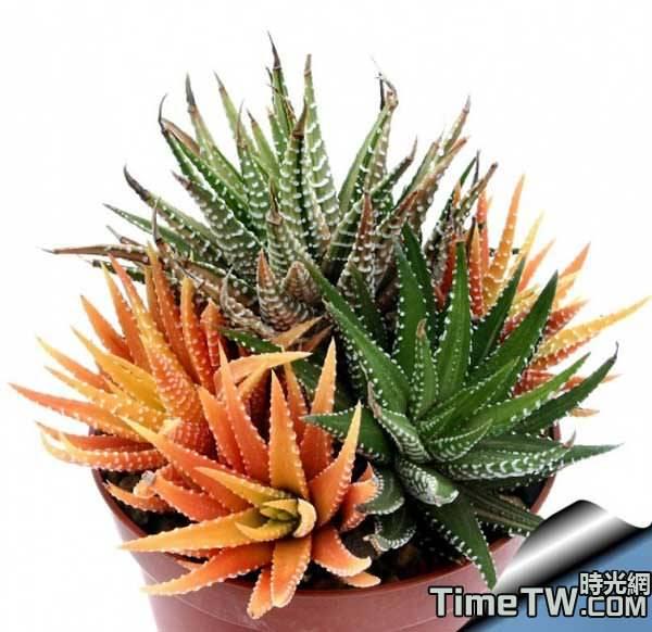 十二卷屬多肉植物按照葉片軟硬的分類