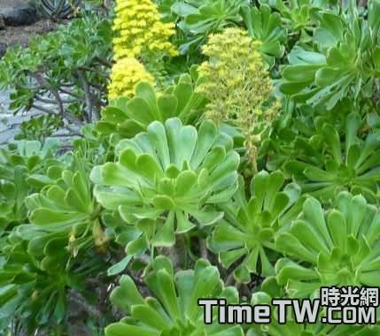 蓮花掌多肉植物為何容易徒長?怎樣預防徒長?