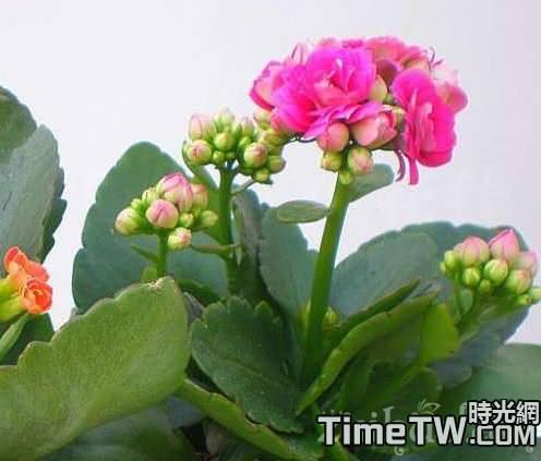 長壽花越養顏色越淺,這是為什麼?