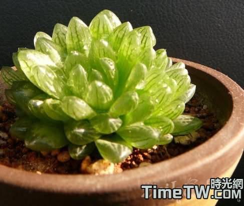 如何才能養出健康美麗的多肉植物蟬翼玉露