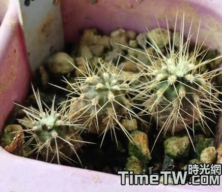多肉植物仙人球的播種說明介紹