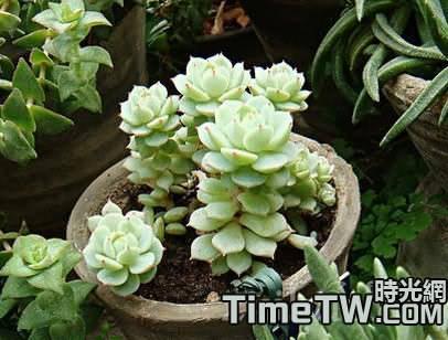 擬石蓮花屬多肉植物如何控制好植株?