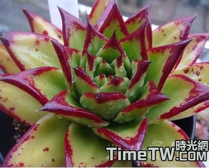 多肉植物擬石蓮的顏色變化與環境有關嗎?