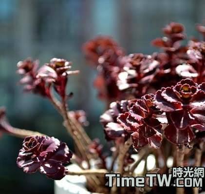 多肉植物小球玫瑰是由什麼方法繁殖的?