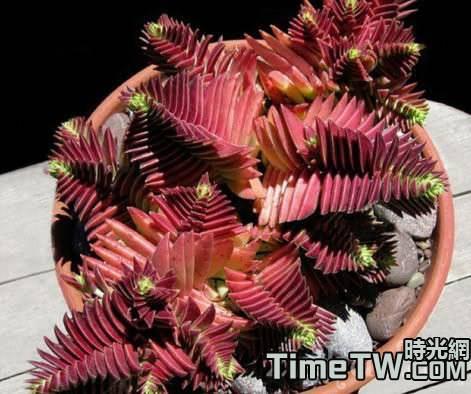 多肉植物茜之塔葉子發紅是好是壞?