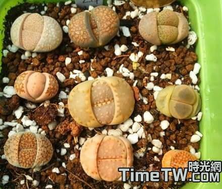 如何讓多肉植物生石花長得快一些?