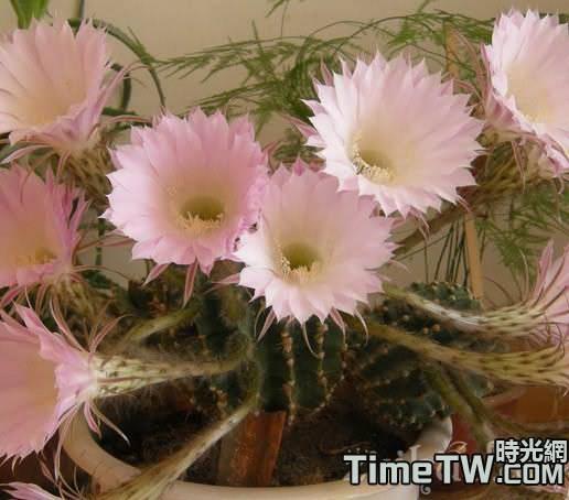 仙人球需要滿足哪些條件才會開花?