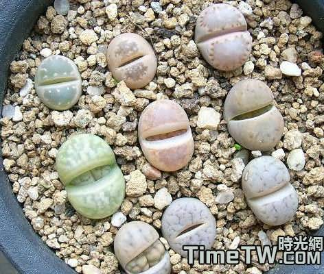 生石花有哪幾種繁殖方法?哪種方法最好?