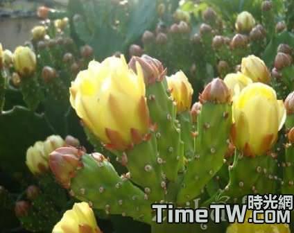 想要仙人掌提早開花,如何管理最好?
