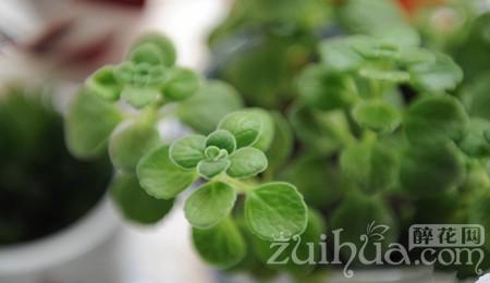 養殖碰碰香過程中遇到葉子發黃怎麼辦?