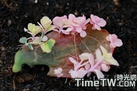 玉吊鐘栽培技術是什麼,如何養護它,以及有什麼生長習性
