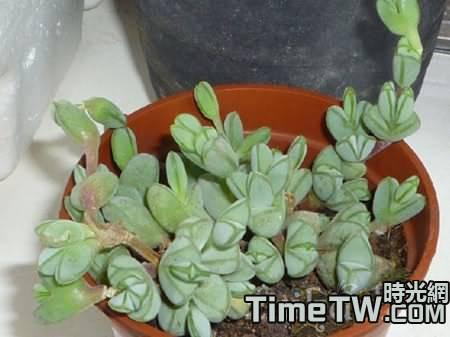 多肉植物碧玉蓮與鹿角海棠的生長習性一樣嗎?它們區別在哪裡