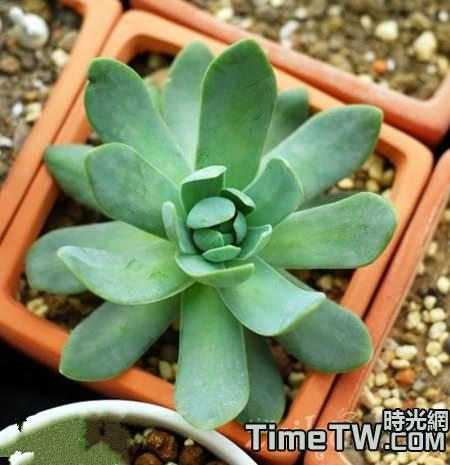 青鳳凰怎麼養,它養殖方法分別是什麼,何時開花?